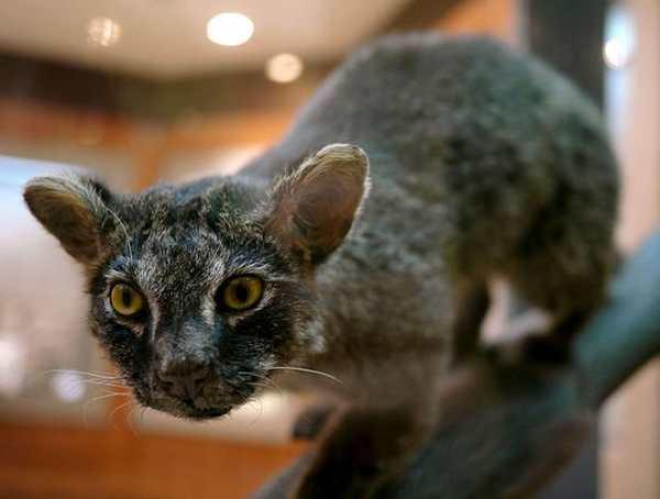 gato iriomote