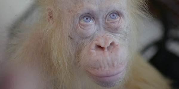 Alba, a única orangotango albina
