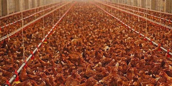 galinha solta