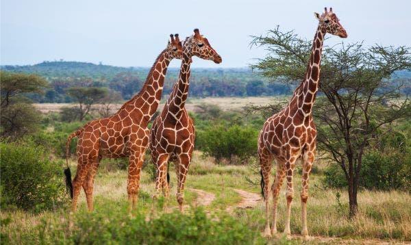 girafa 4