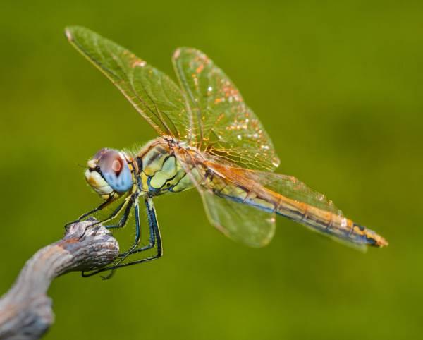 libélula lenda 3
