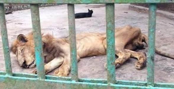 leão esquelético