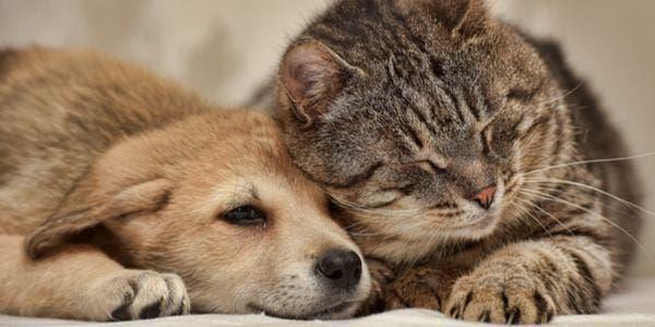 Cães x gatos