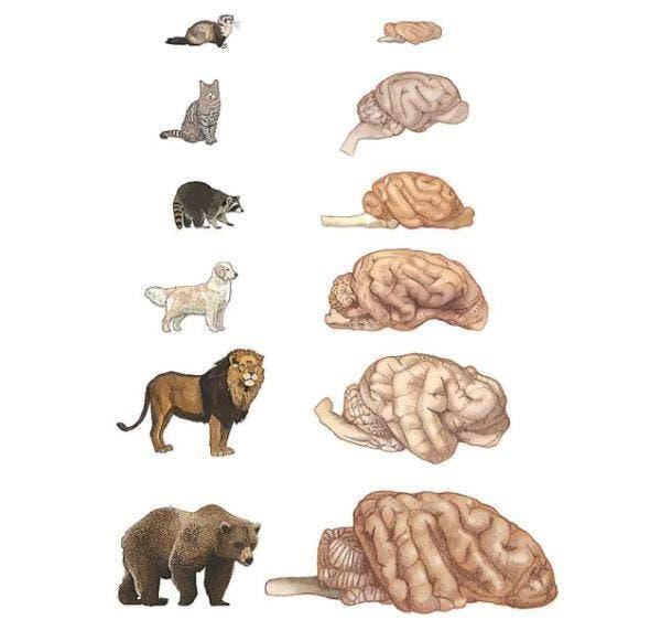 cerebros animais