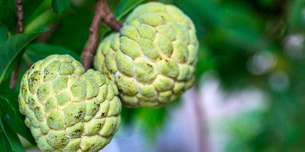 Fruta-do-Conde