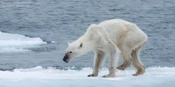 urso-polar extinção