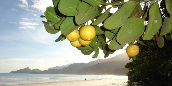 Abricó-da-praia