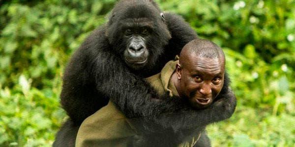Gorila-das-montanhas-ranger