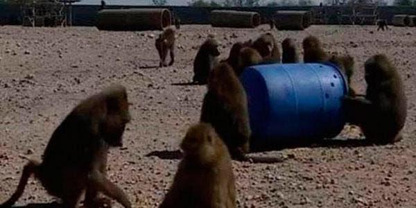 babuínos em fuga