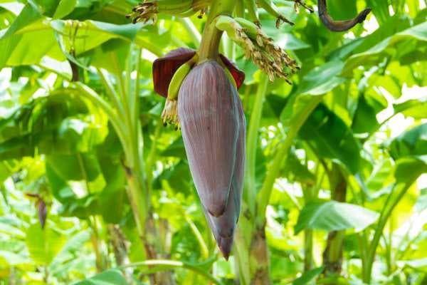 coração de bananeira