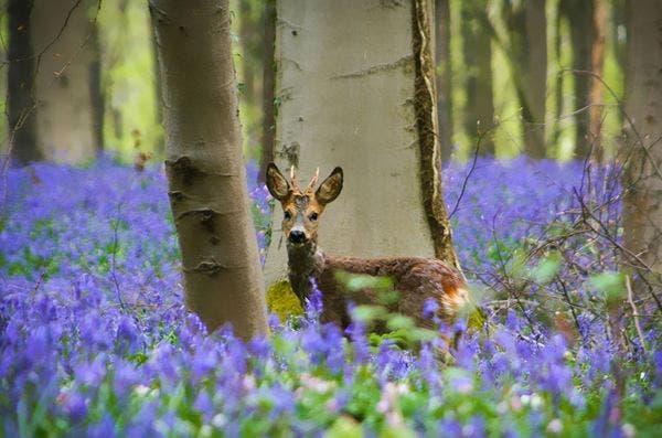floresta hallerbos belgica