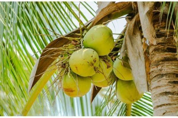como plantar coqueiro