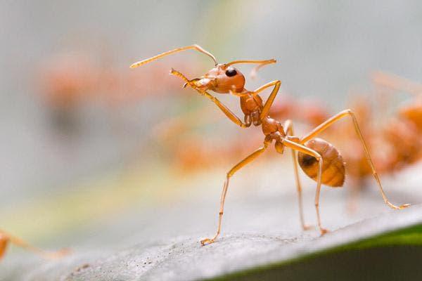 picada de formiga