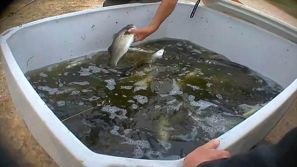 peixe tanque sujo