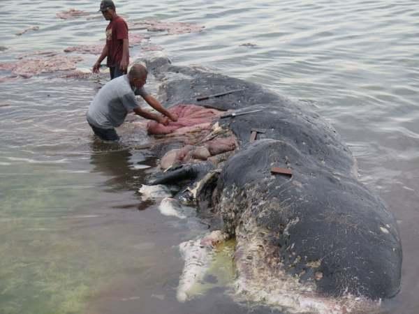 baleia indonesia 3
