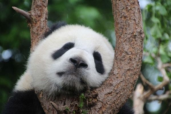 panda conservacao