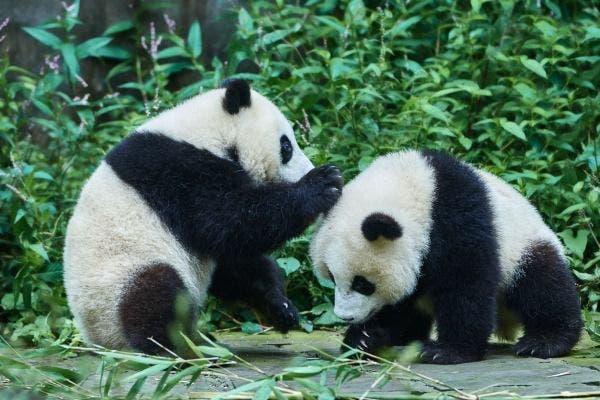 panda reproducao