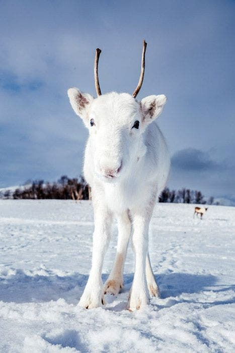 rena branca 2