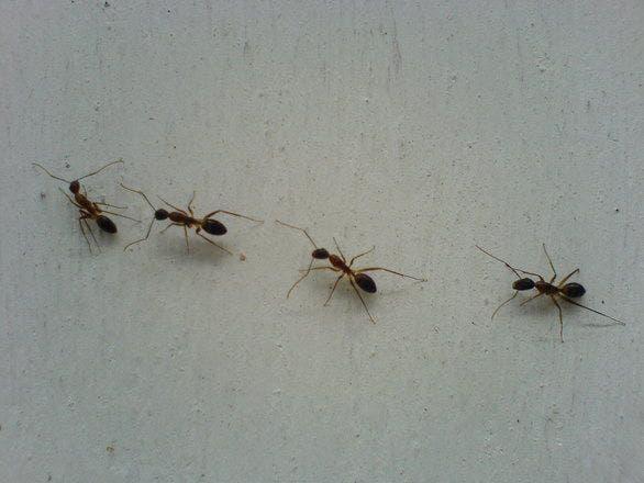 formigas em casa