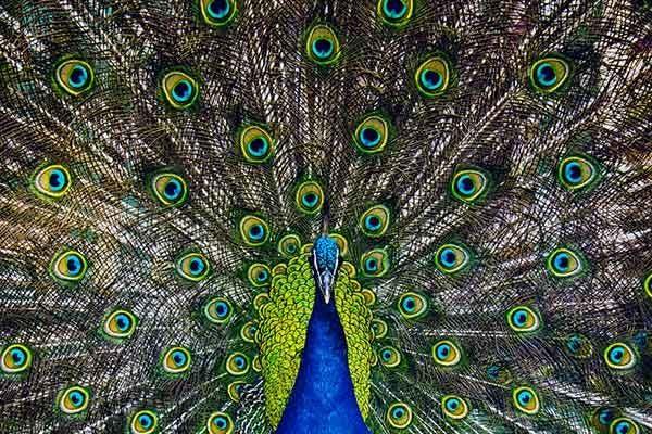 penas-de-pavão