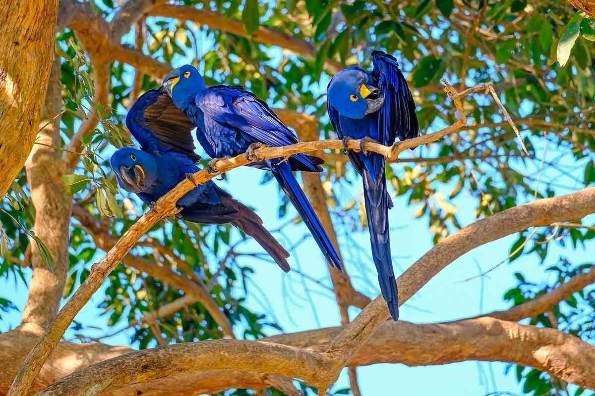 arara-azul-grande