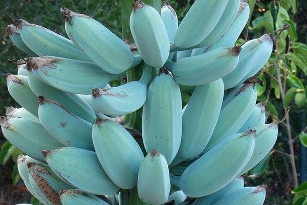 Banana Azul
