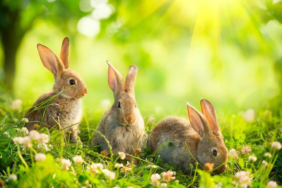 coelhos-páscoa