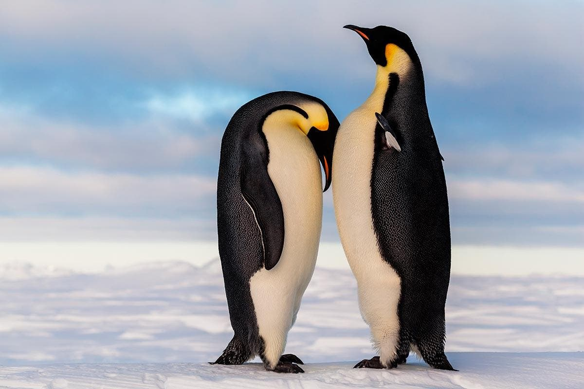 pinguim-imperador