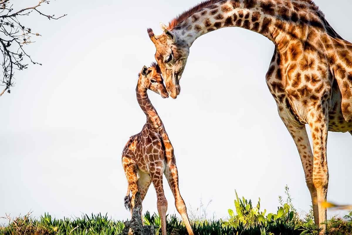 Mãe-girafa