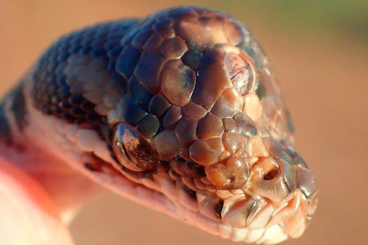 Cobra de três olhos