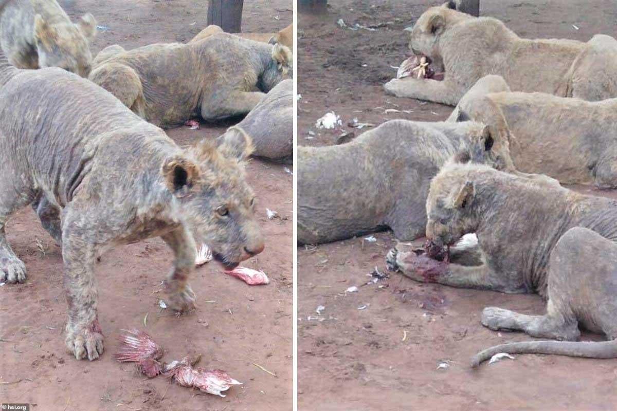leões África