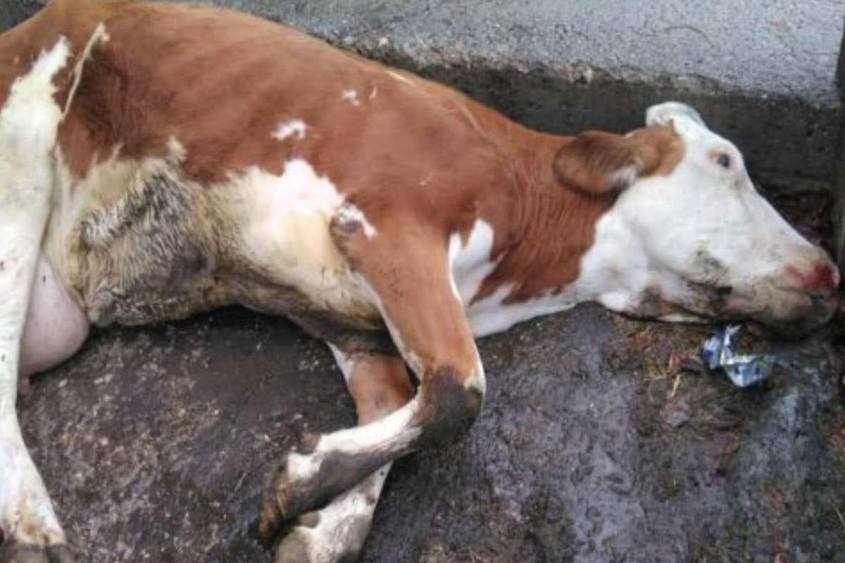 vaca morta