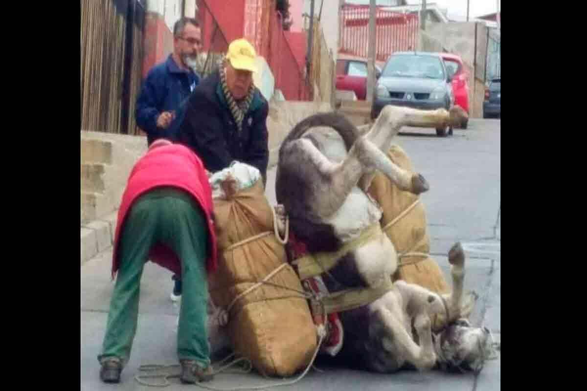 burro caído