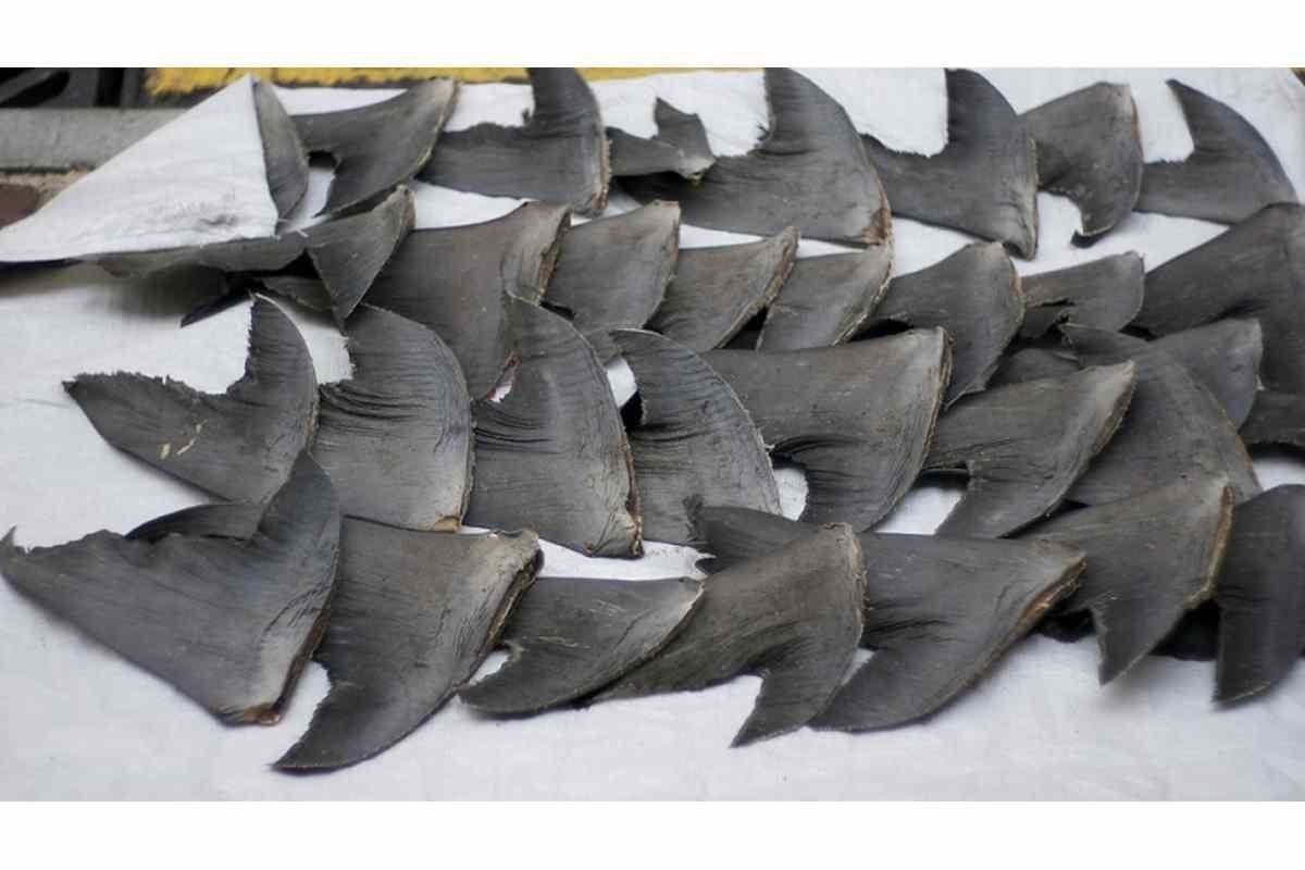 Canadá barbatanas de tubarão