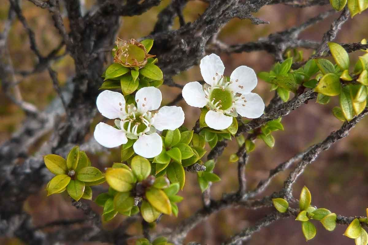 manuka-flor