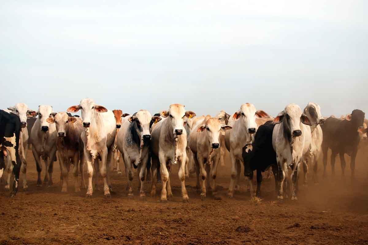 Carne bovina brasileira
