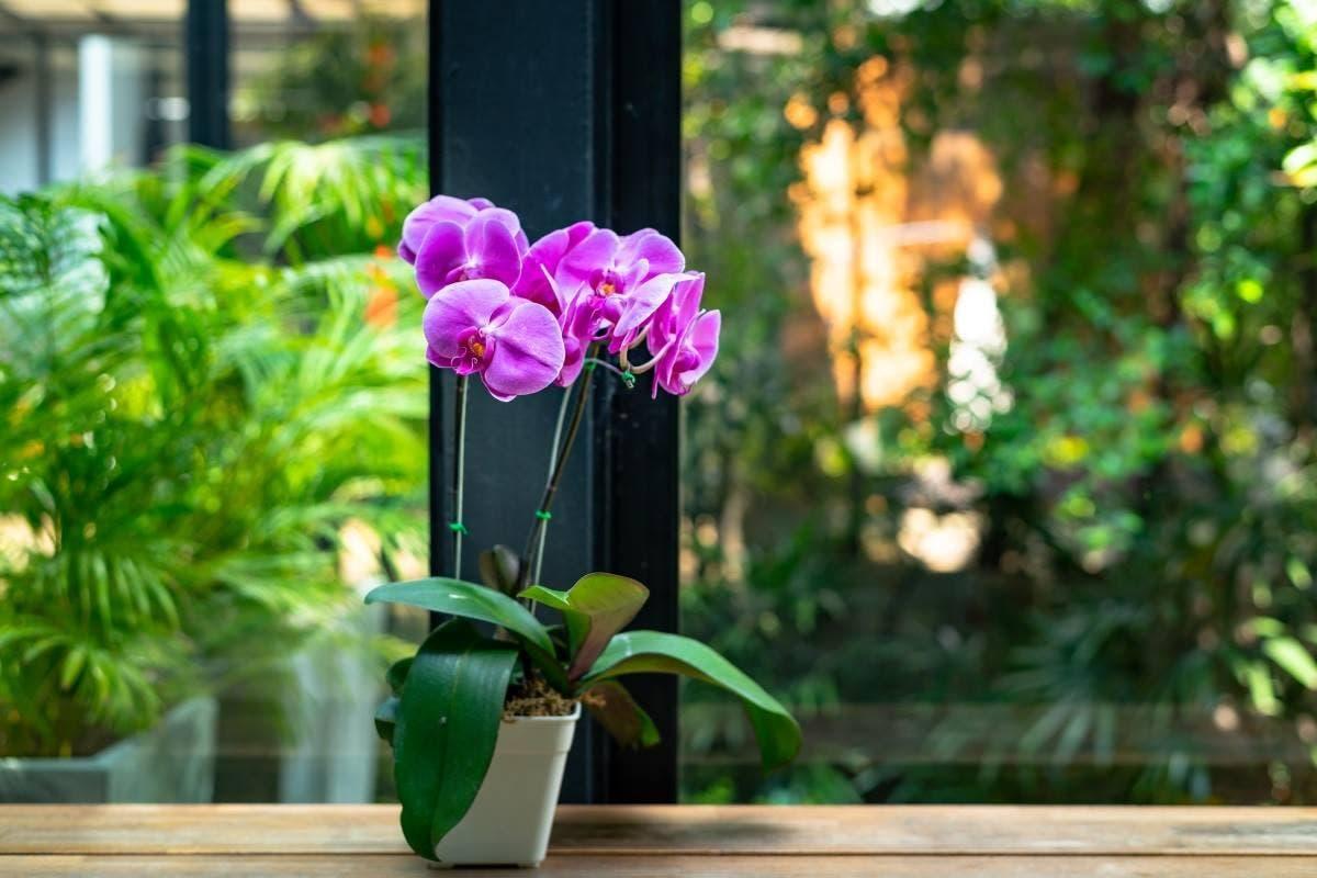 orquídea purifica o ar