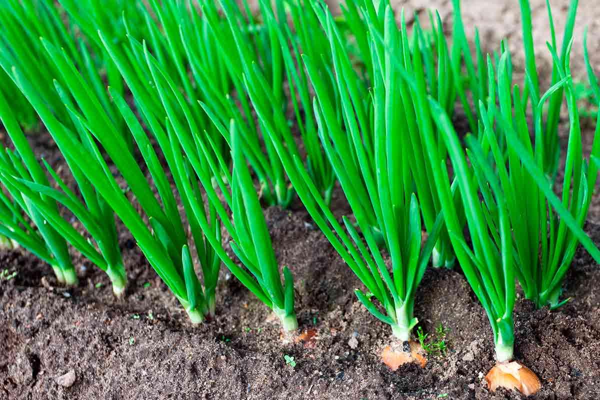 plantar cebola