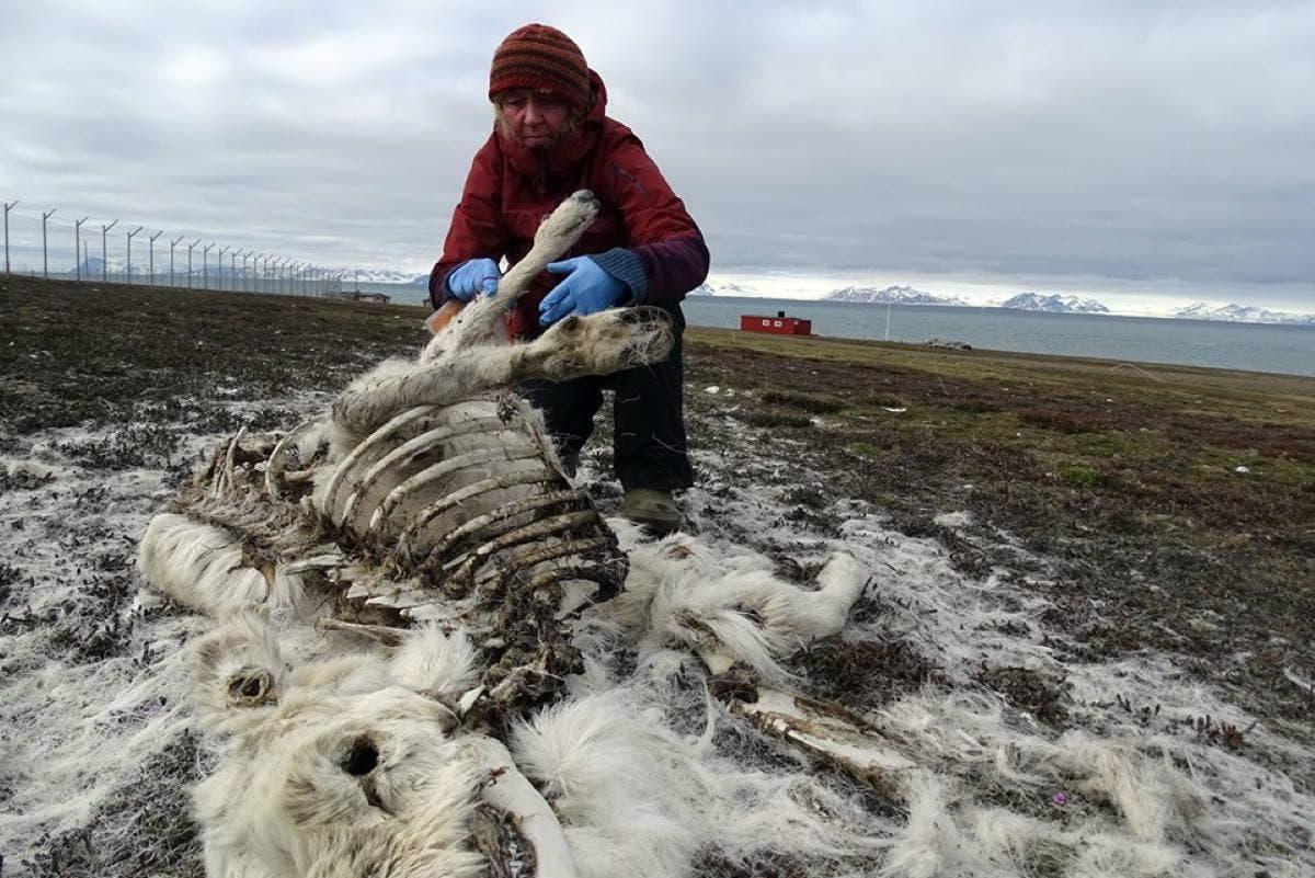 renas no Ártico
