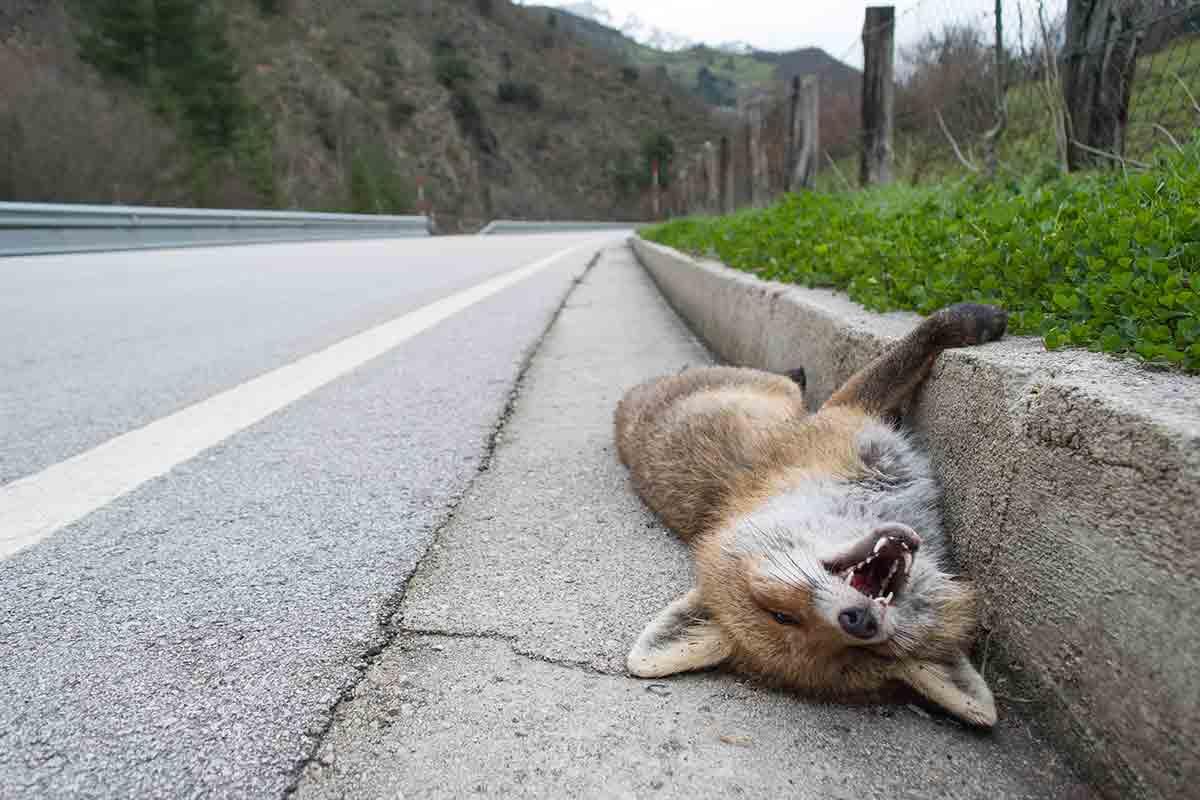 animais atropelados