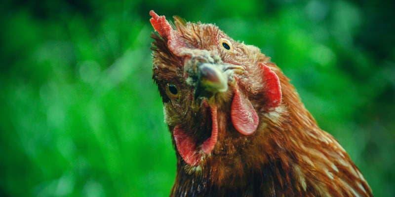 comida de galinha