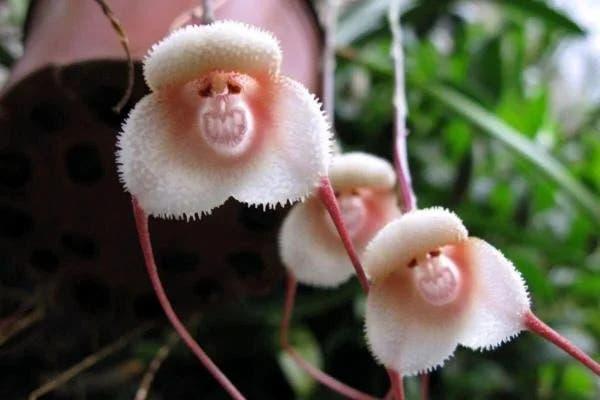 orquídea macaco