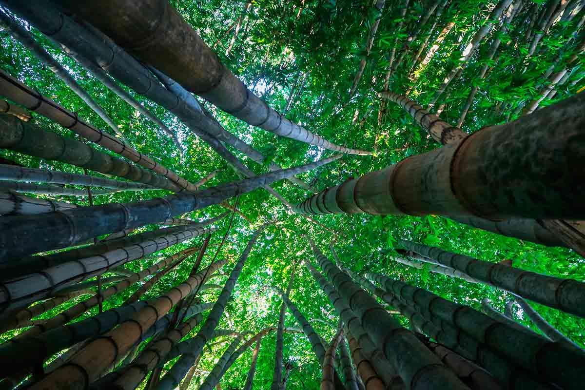 floresta de Bambu Brasil