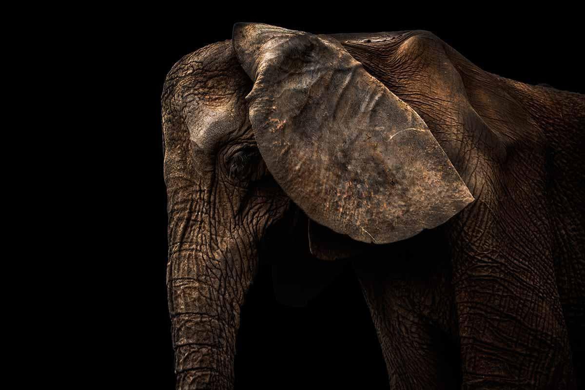 elefante morte