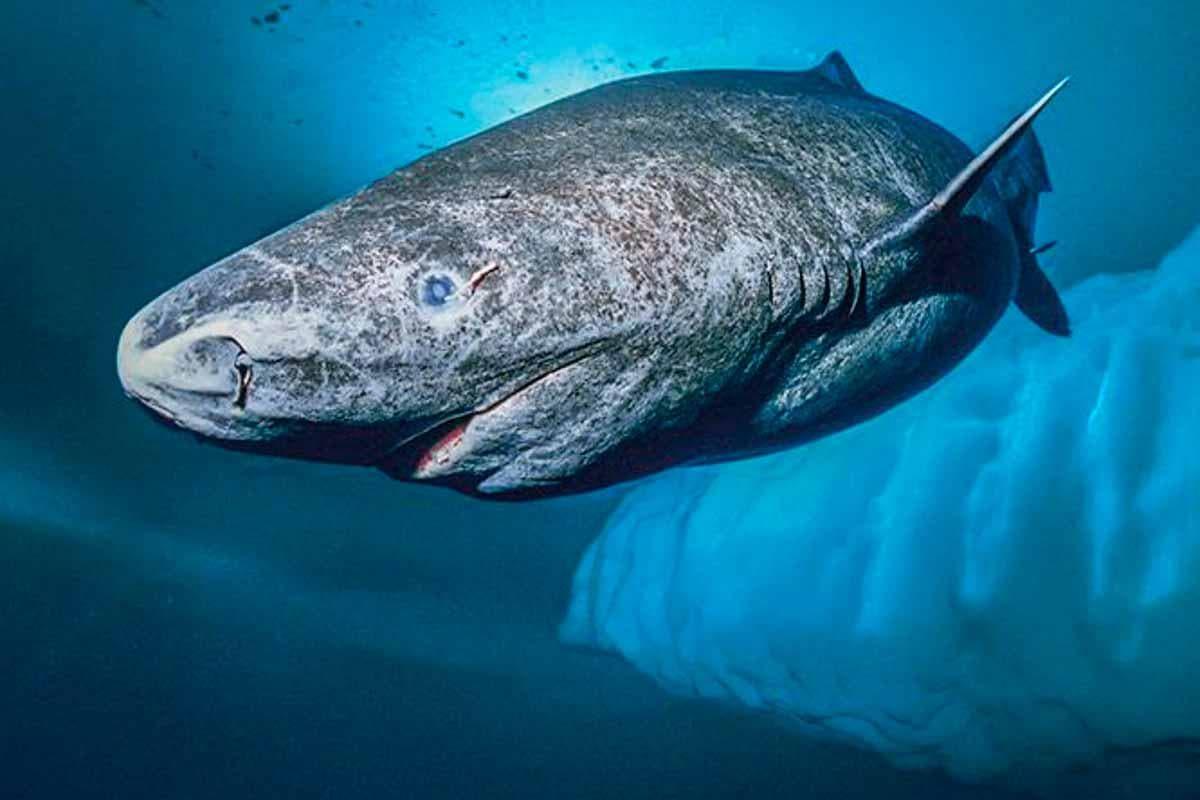 Tubarão de 400 anos