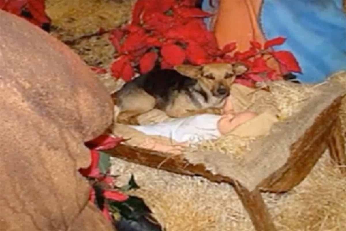 Cachorro-presépio