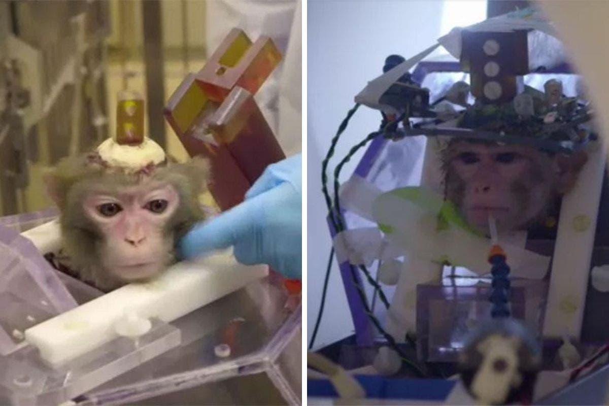 experimentos com macacos