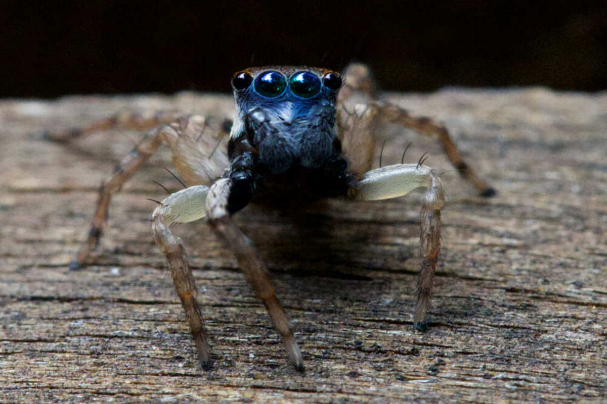 aranha-saltadora-azul