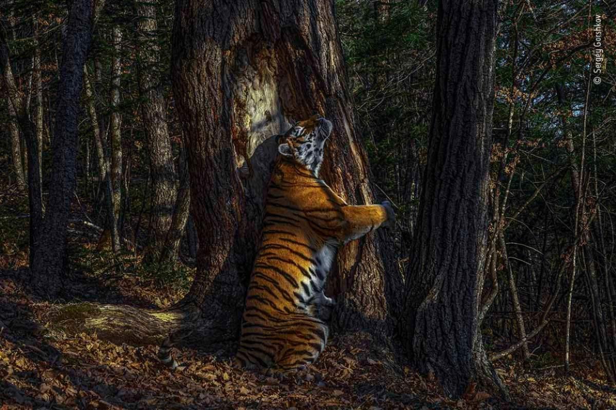 tigro-abracos-arvore