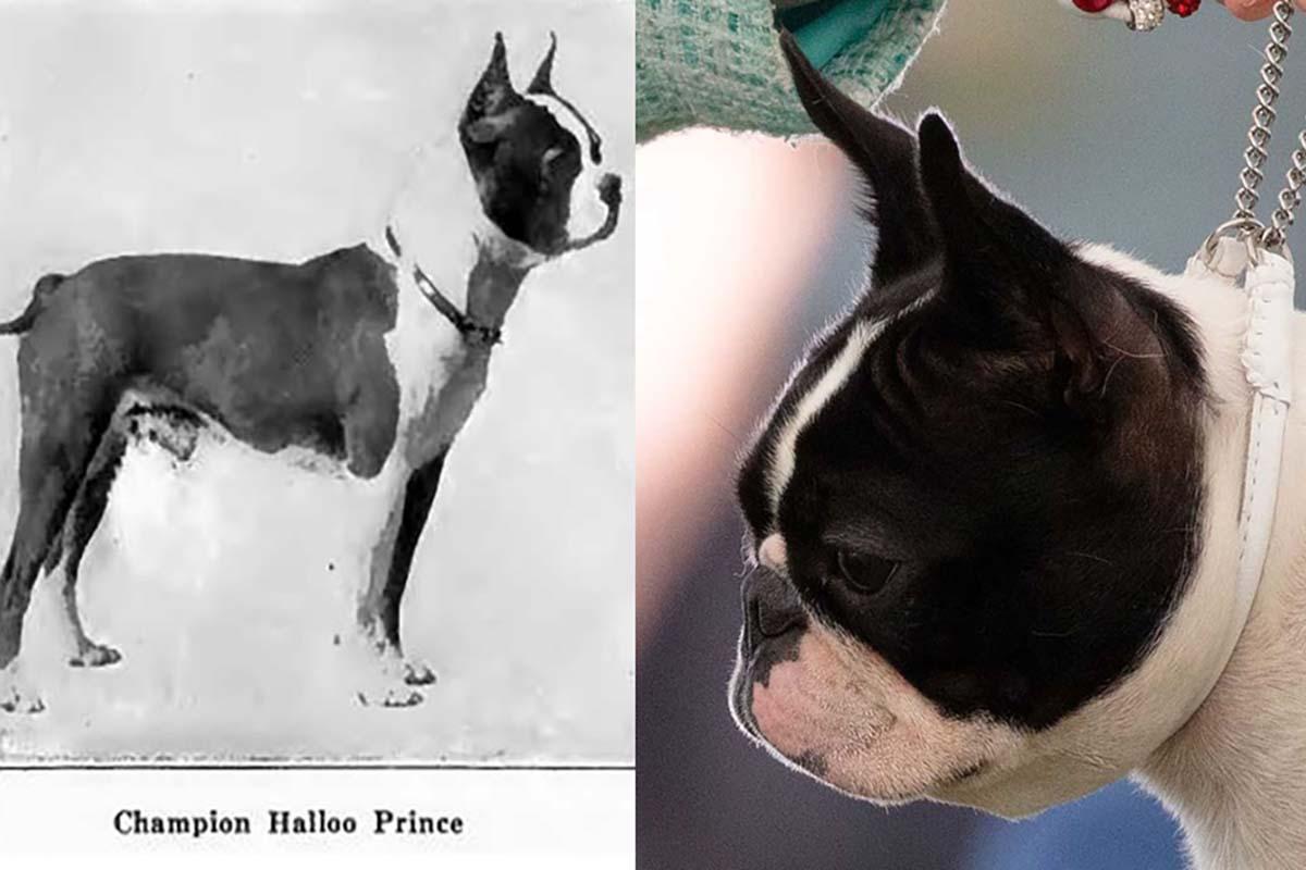 bulldog-terrier-